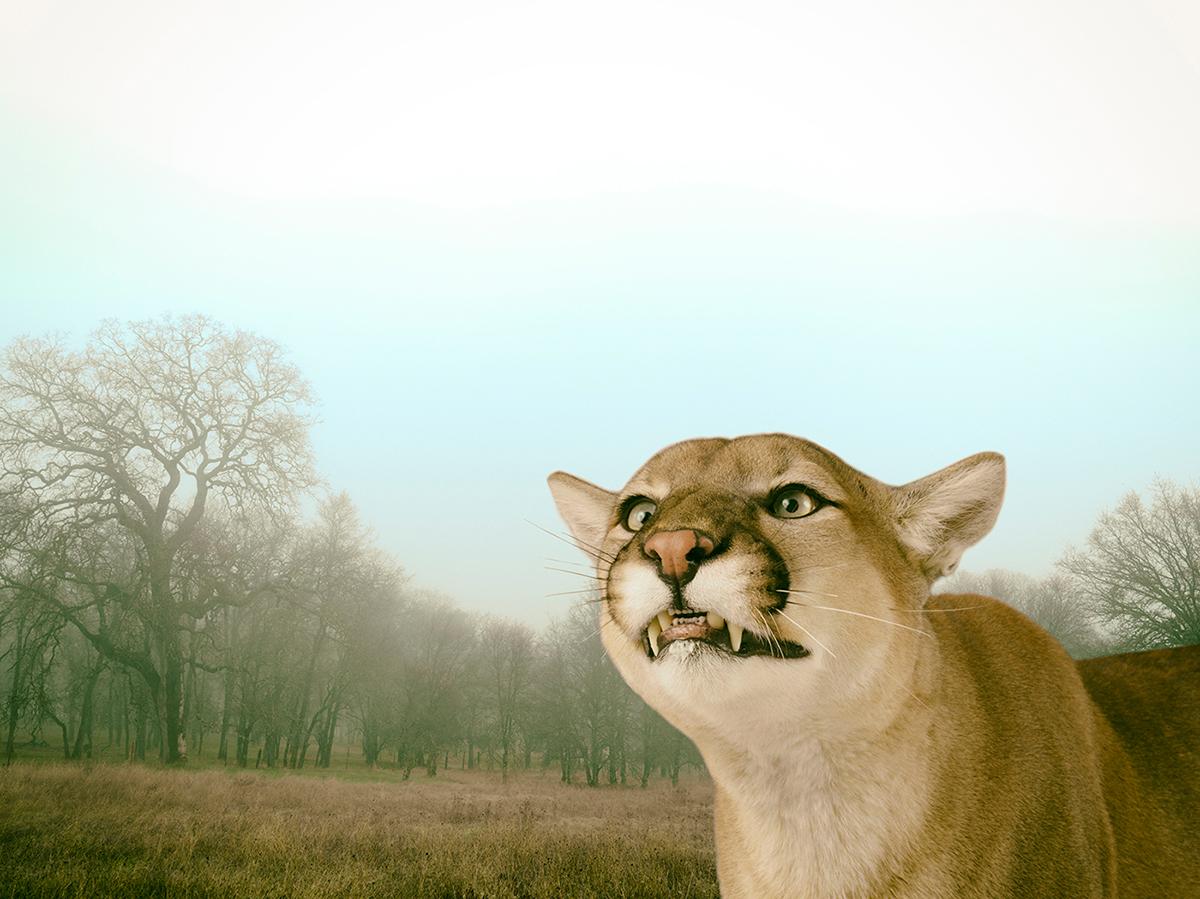 LennetteNewell_mountain lion 4.jpg