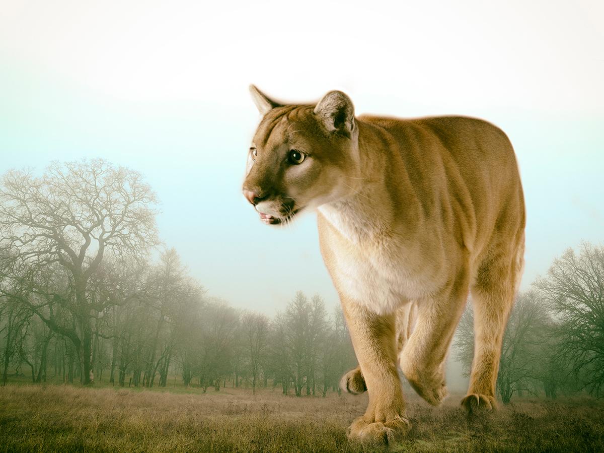 LennetteNewell_mountain lion 5.jpg