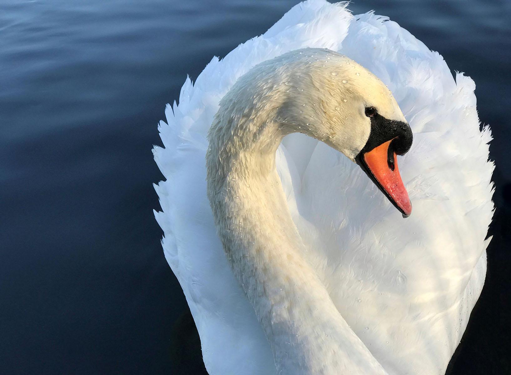 CaraGallardoWeil_Portrait of a Swan.jpg