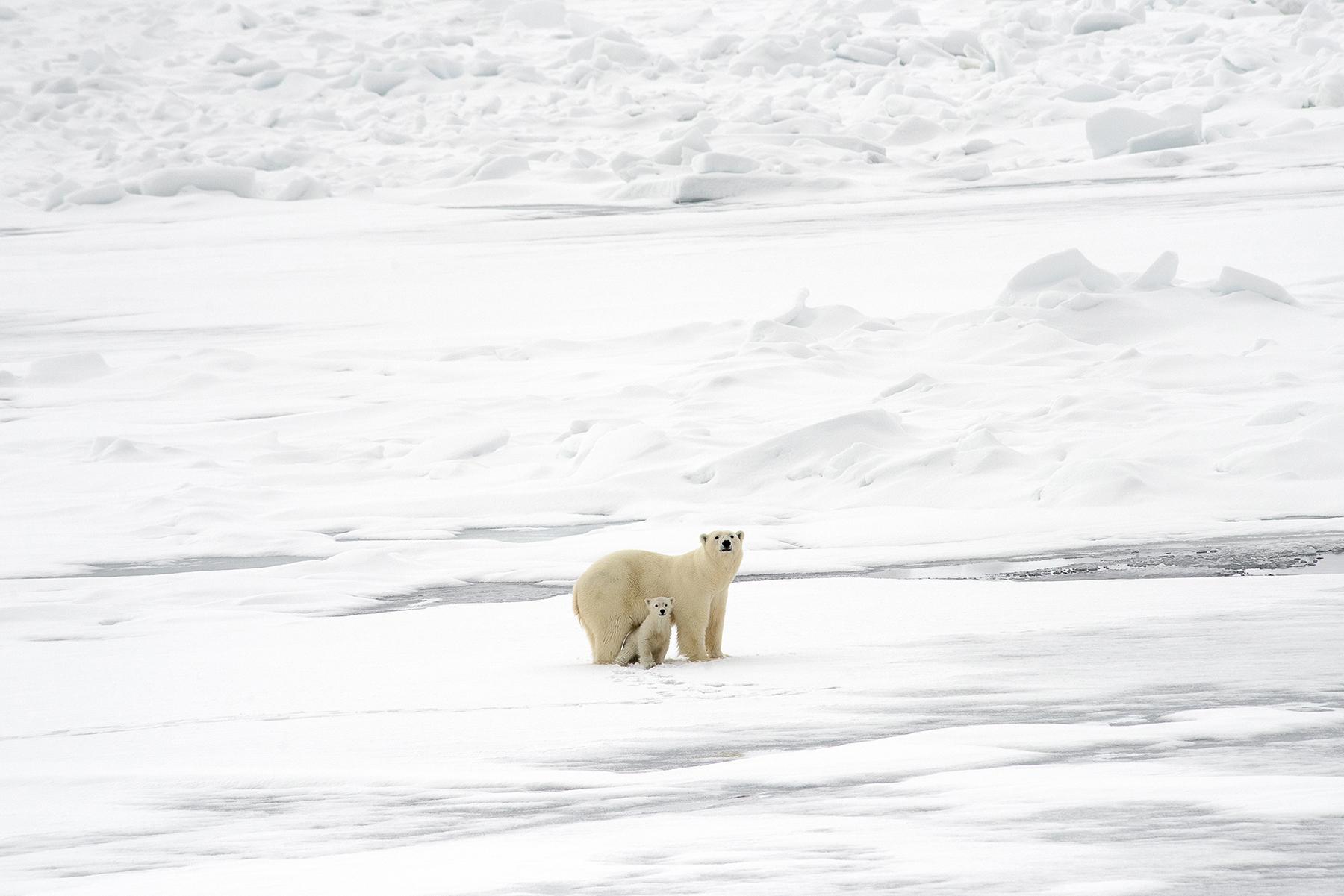 Ellen_Jacob_Arctic Fading_Polar Bears_3.jpg