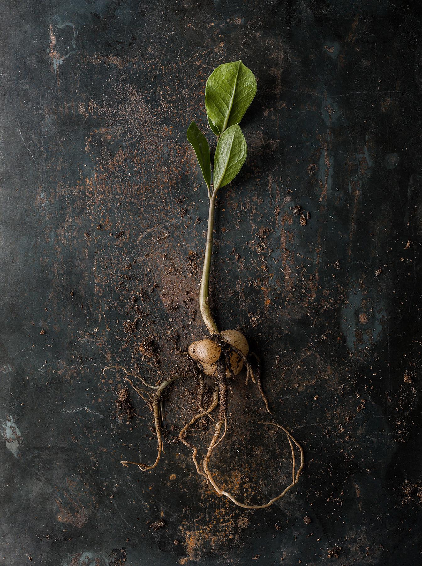 52_Beth_Galton_Roots_Zamioculcas_zamiifolia_4.jpg
