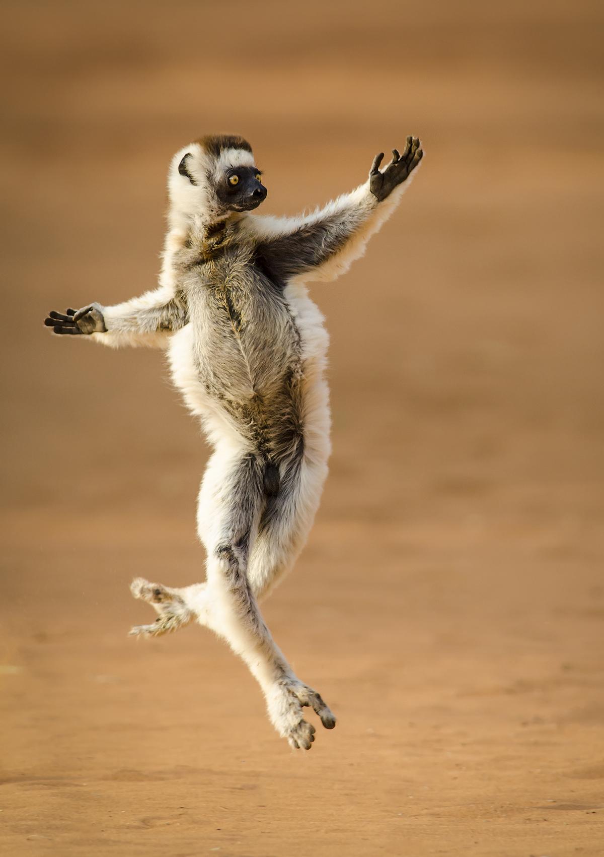 Diana_Rebman_Verreaux's Dancing Sifaka.jpg