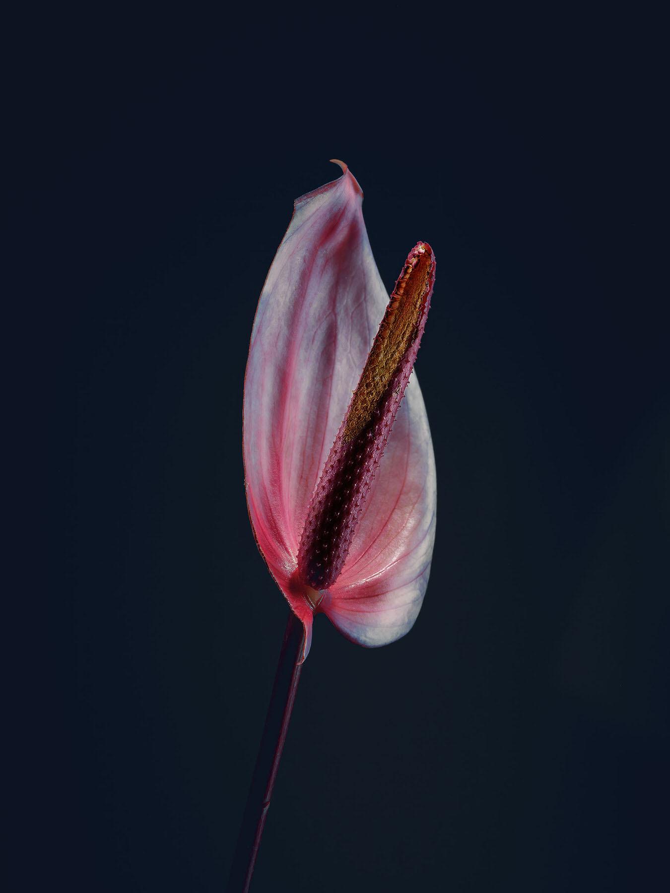 Simon_Puschmann_assaulted-flowers_anthurium.jpg