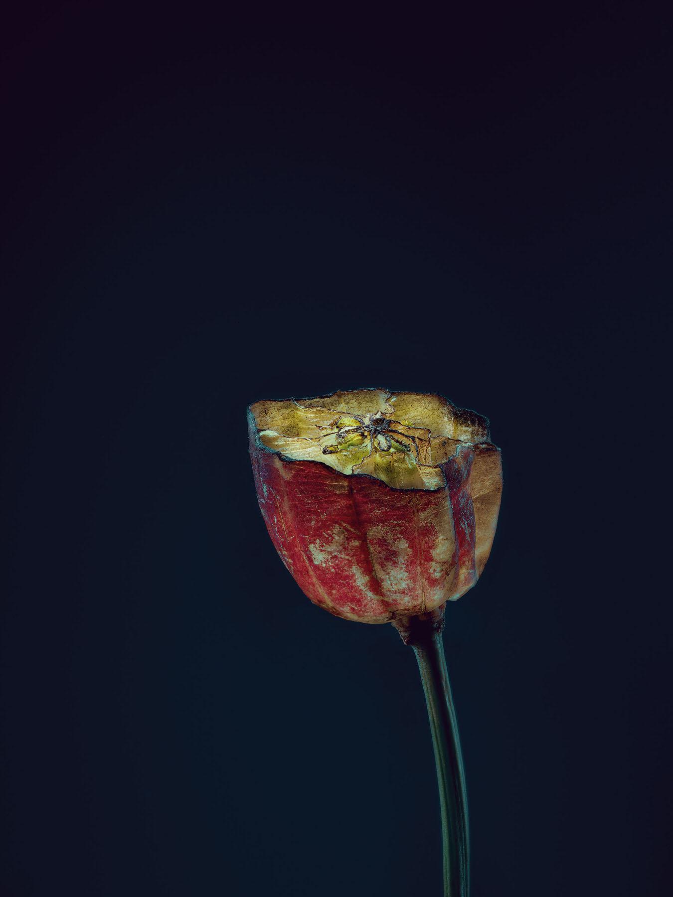 Simon_Puschmann_assaulted-flowers_nigella_damascena.jpg