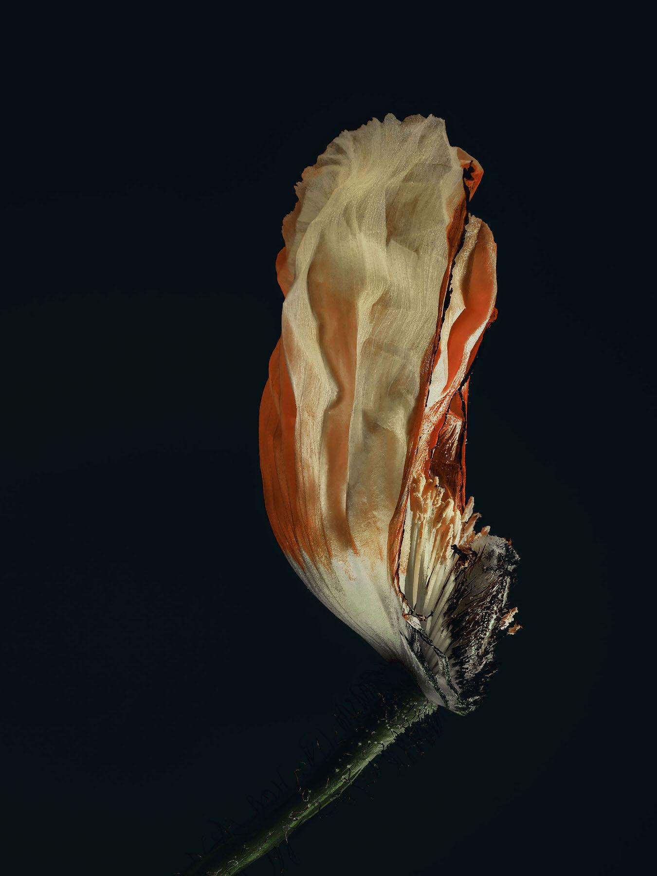 Simon_Puschmann_assaulted-flowers_papaver_02.jpg