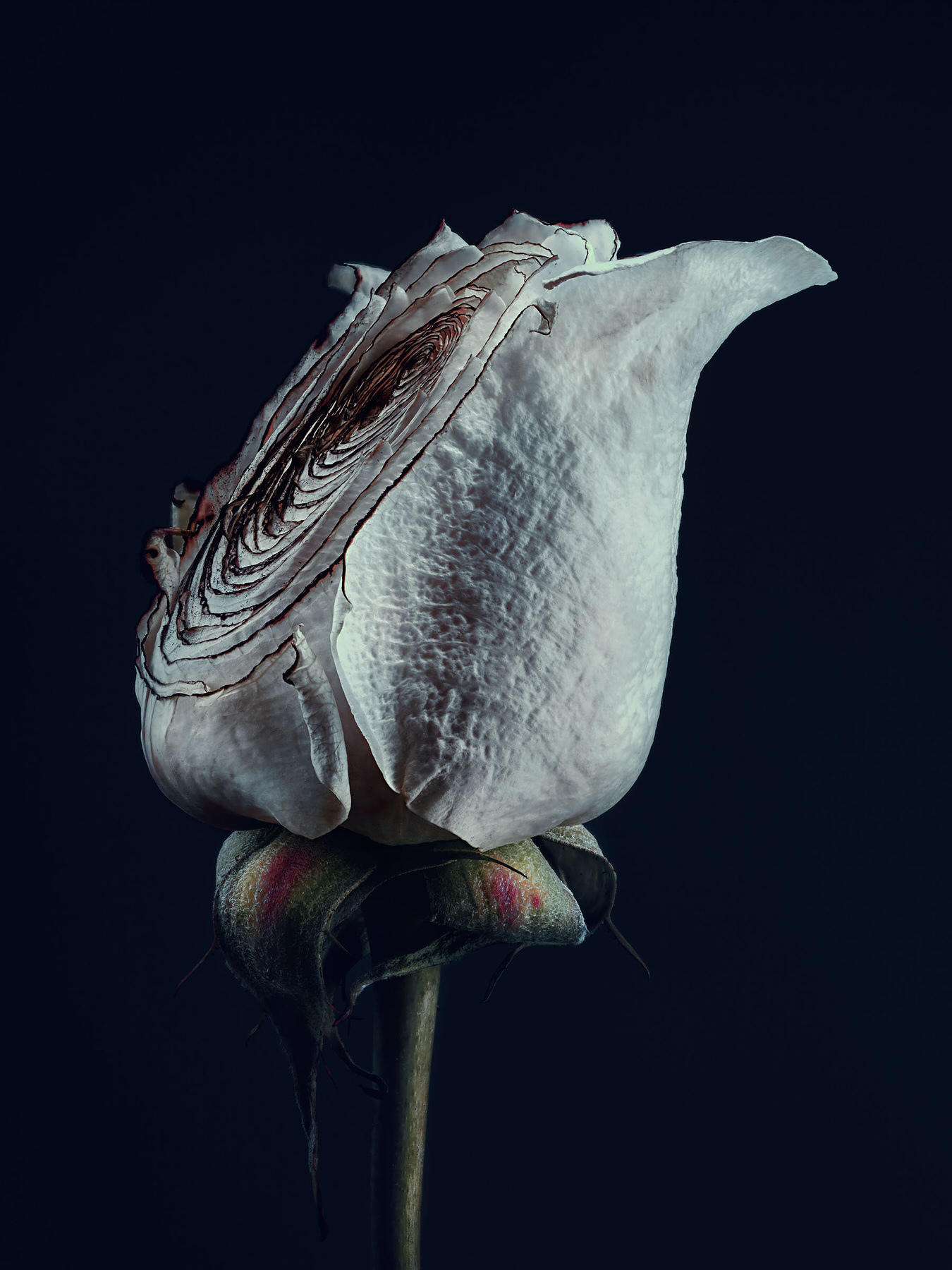 Simon_Puschmann_assaulted-flowers_rosa.jpg