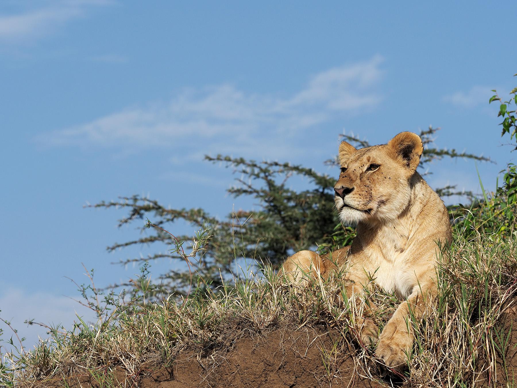 Ranjan_Ramchandani_Lioness looking out.jpg