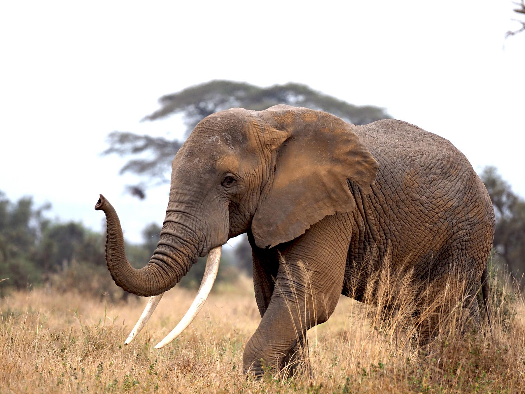 Ranjan_Ramchandani_The gentle giant of Amboseli.jpg