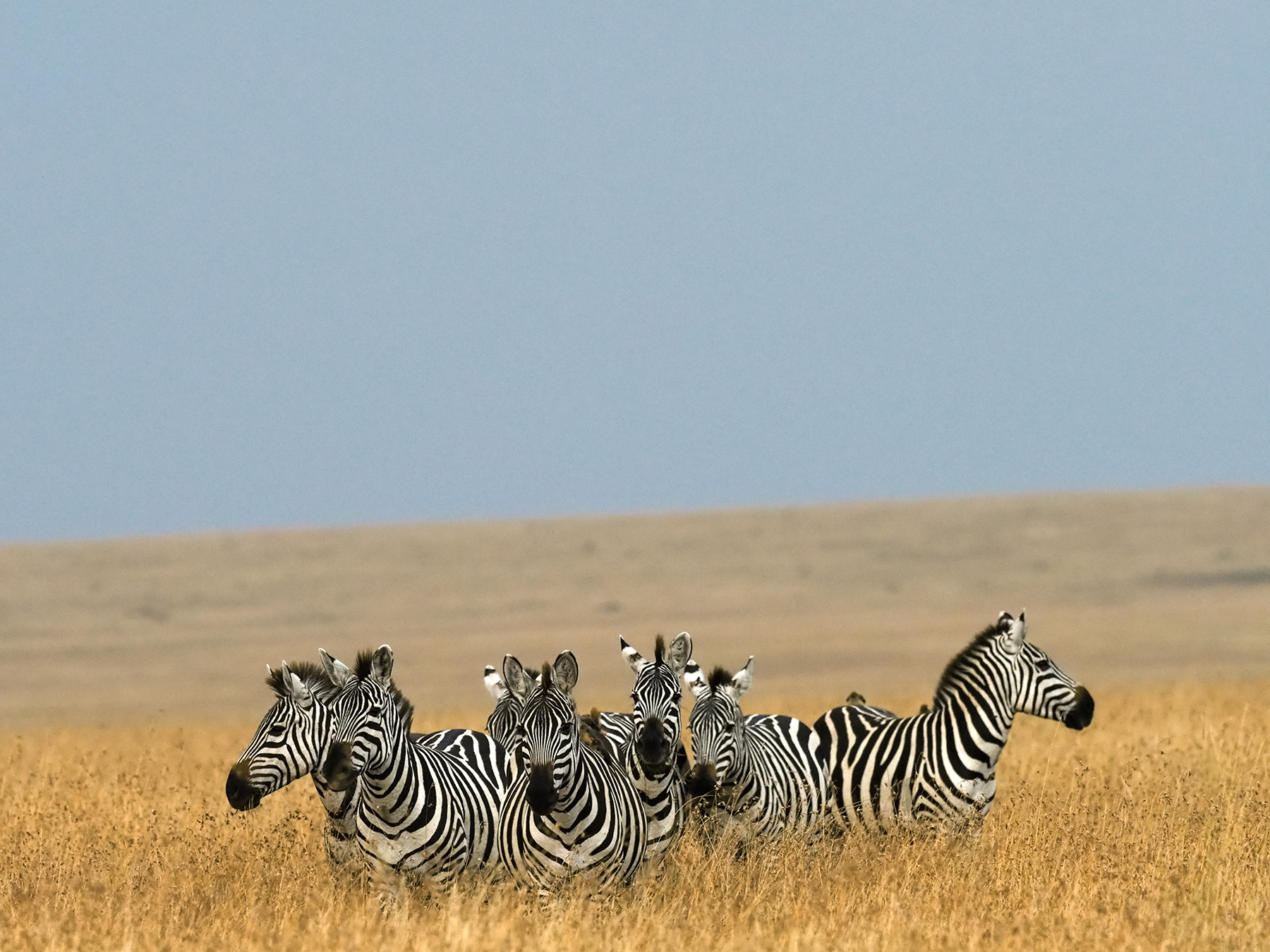 Ranjan_Ramchandani_Zebras in a bunch.jpg