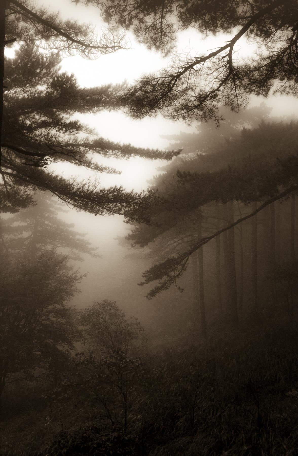 Carol_Horigan_Forest Shrouded in Mist-1V.jpg