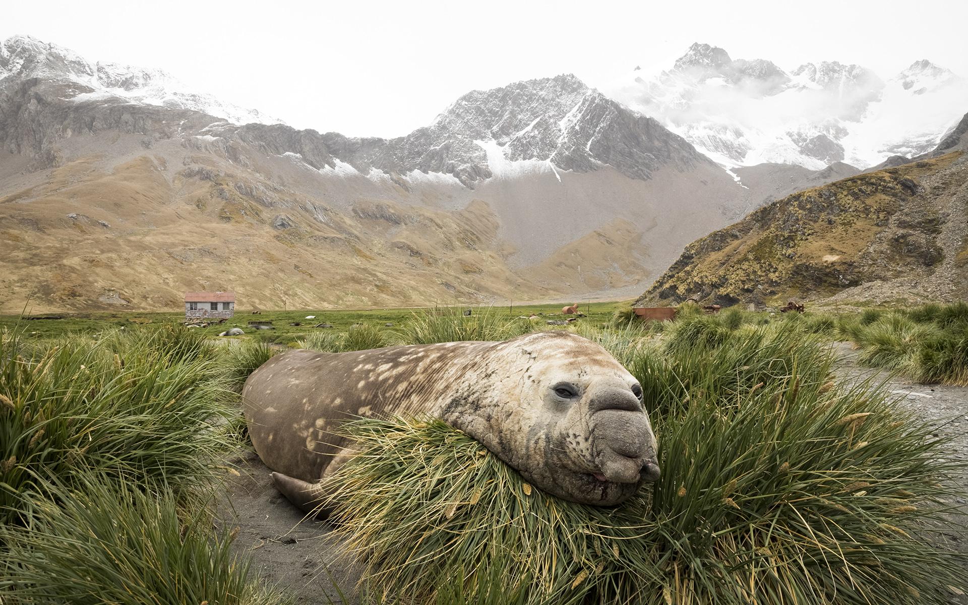 Brian_Jones_Elephant Seal in Tussock Grass.jpg