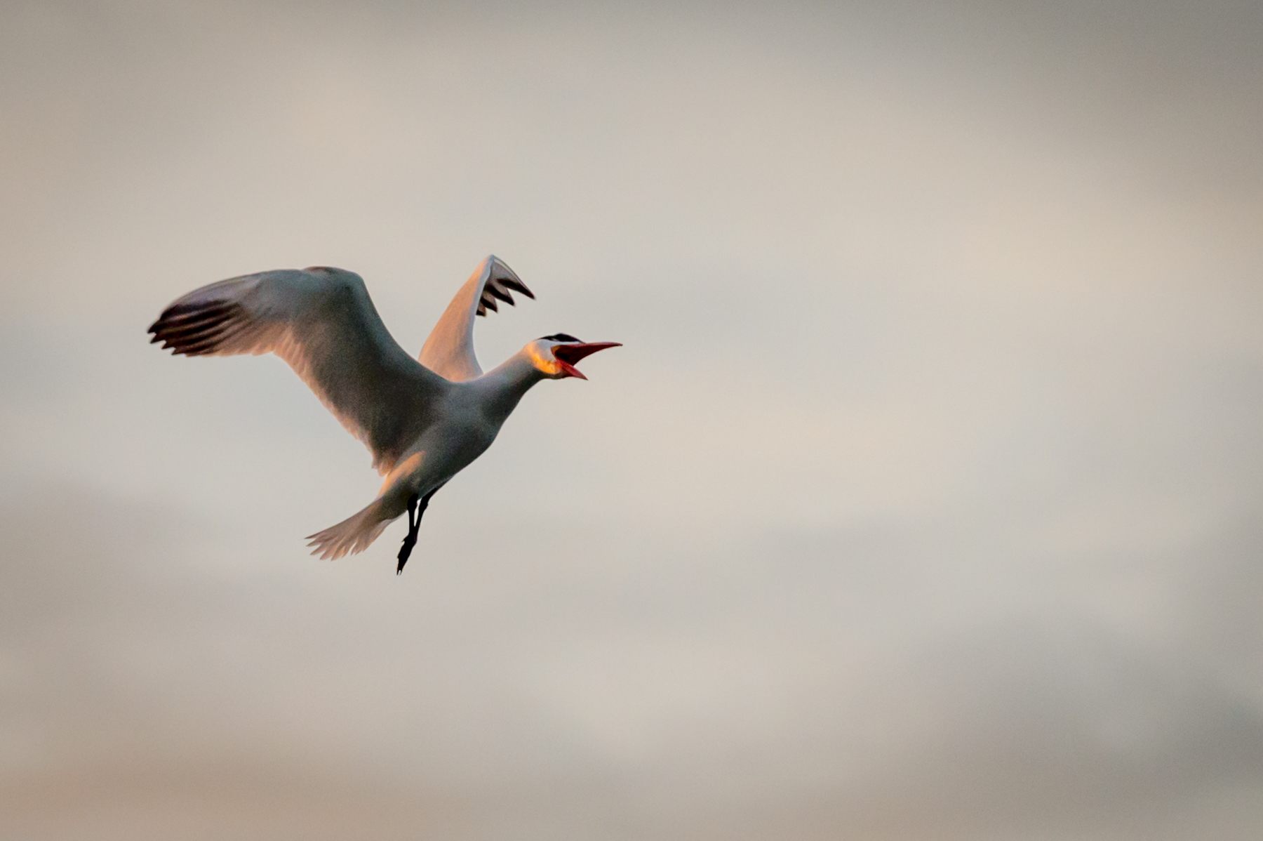 Ted_Glasoe_Wild-Life_Ticked-Tern_4.jpg