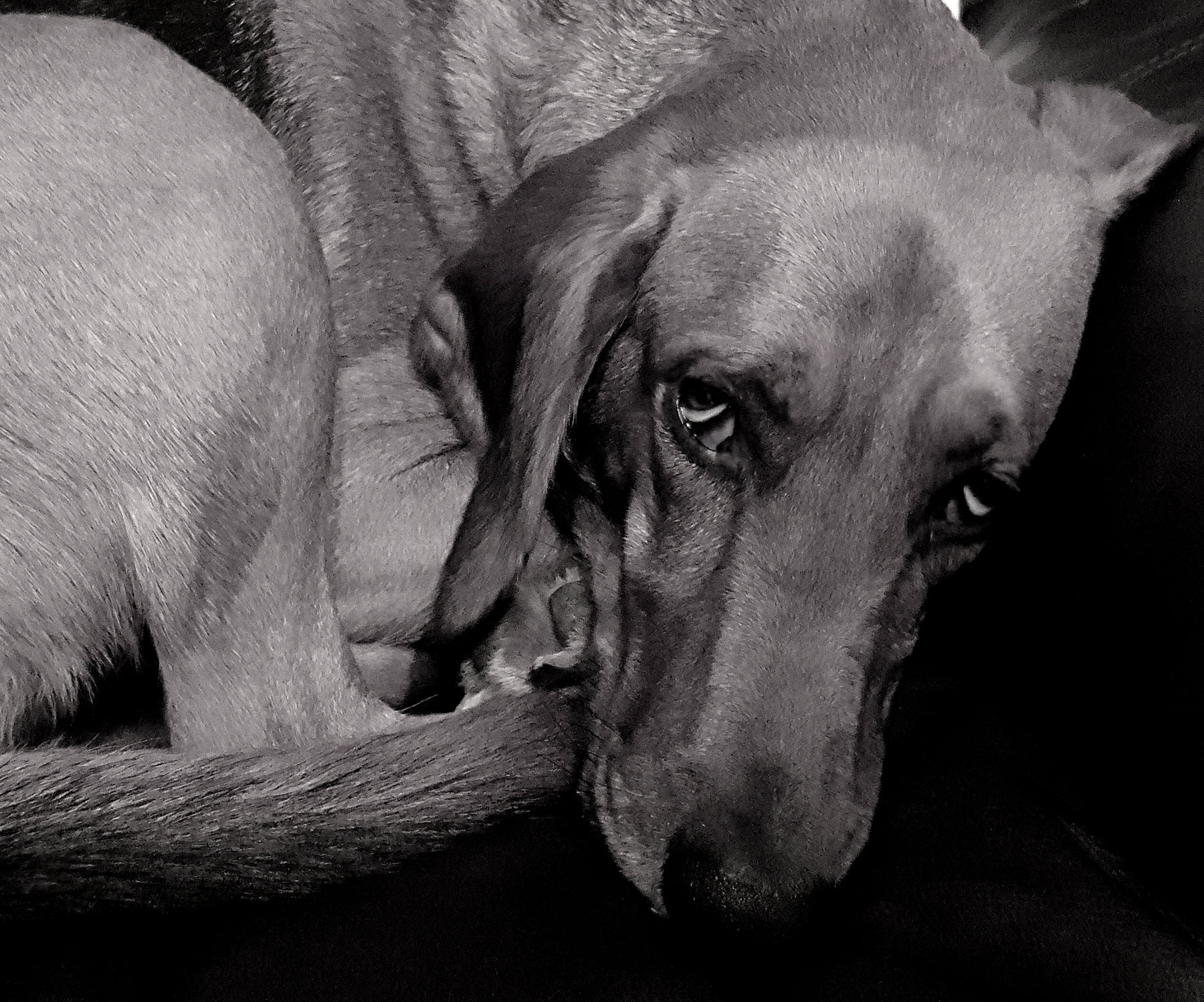 Patty_Tuggle_Blind Coonhound.jpg