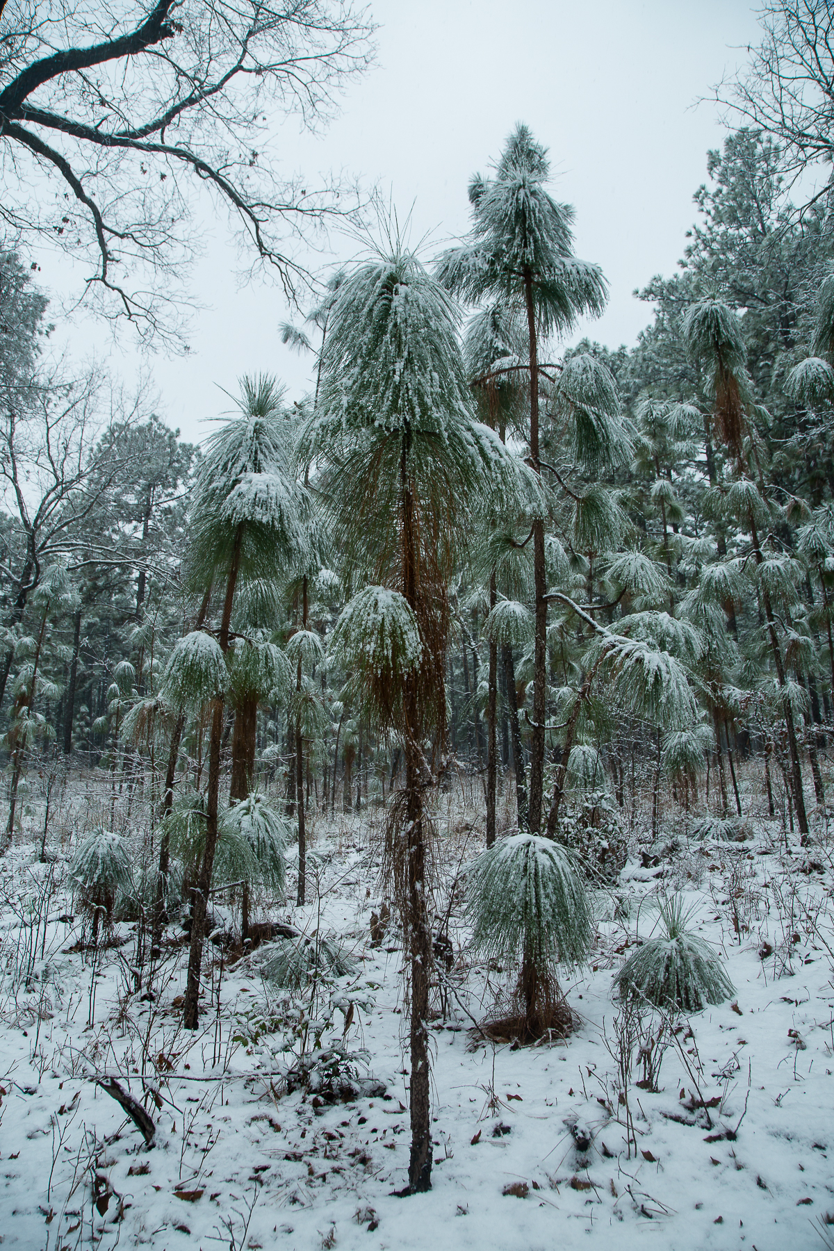 Gioia_Kuss_Long Leaf Pines (Take my Breath Away)_-Long-leaf Pines Posing as Truffula Trees 5.jpg