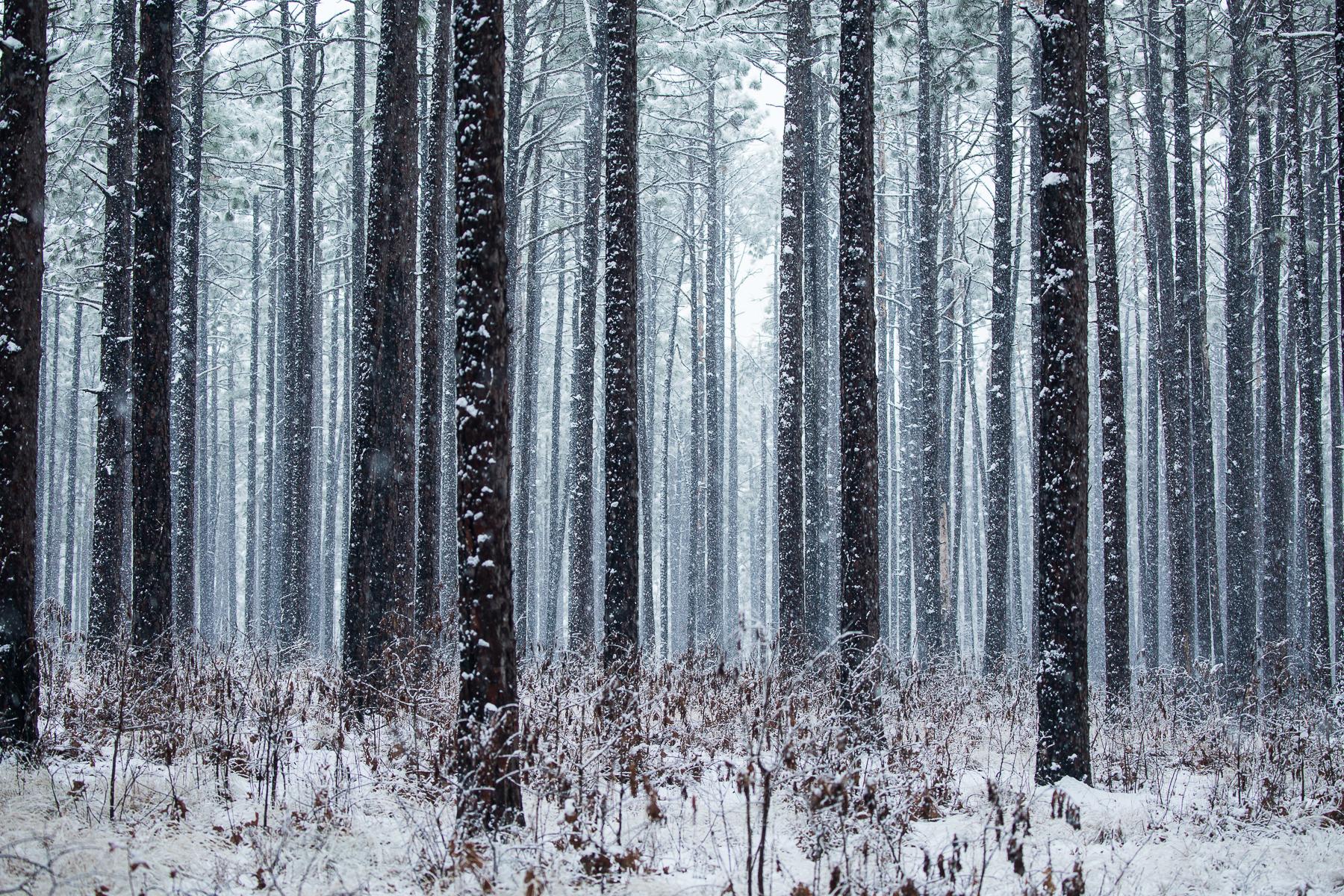 Gioia_Kuss_Long Leaf Pines (Take my Breath Away)_-Long-leaf Pines in the Snow6.jpg