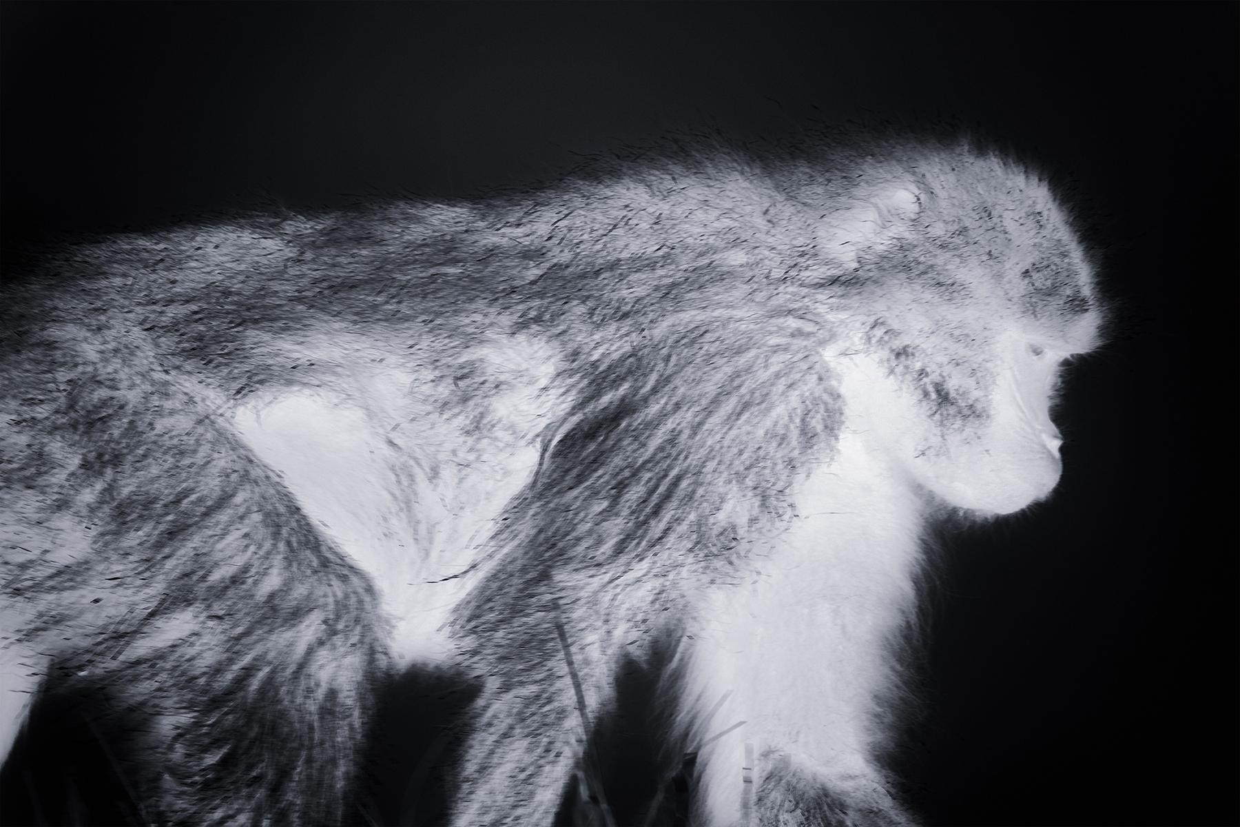 Lennette_Newell gelada monkey.jpg