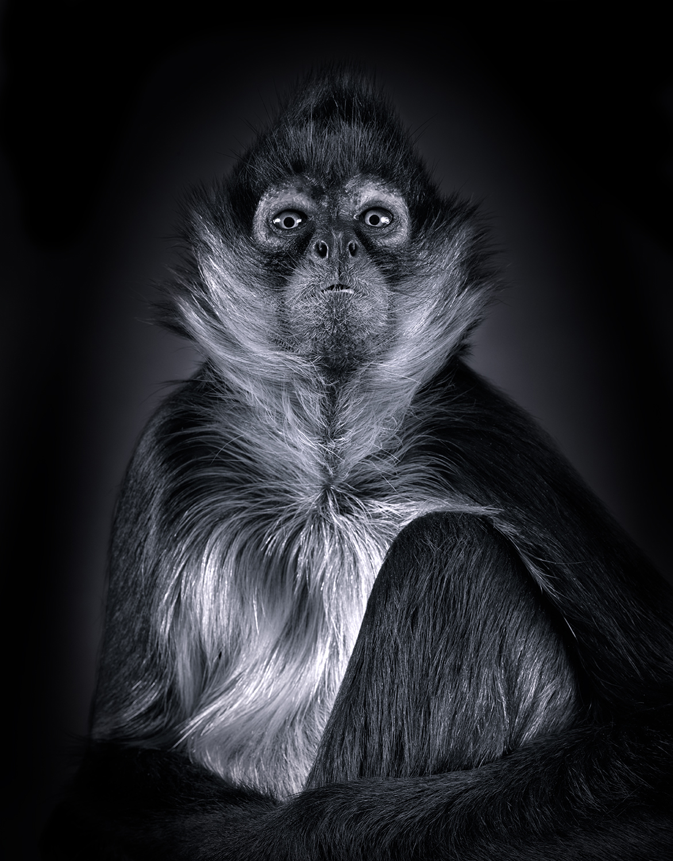 Lennette_Newell Spider_Monkey.jpg