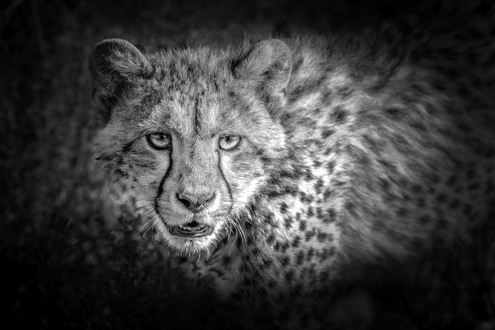 Julie_Eliason_Expressions_and_Impressions_Cheetah's_Gaze_03.jpg