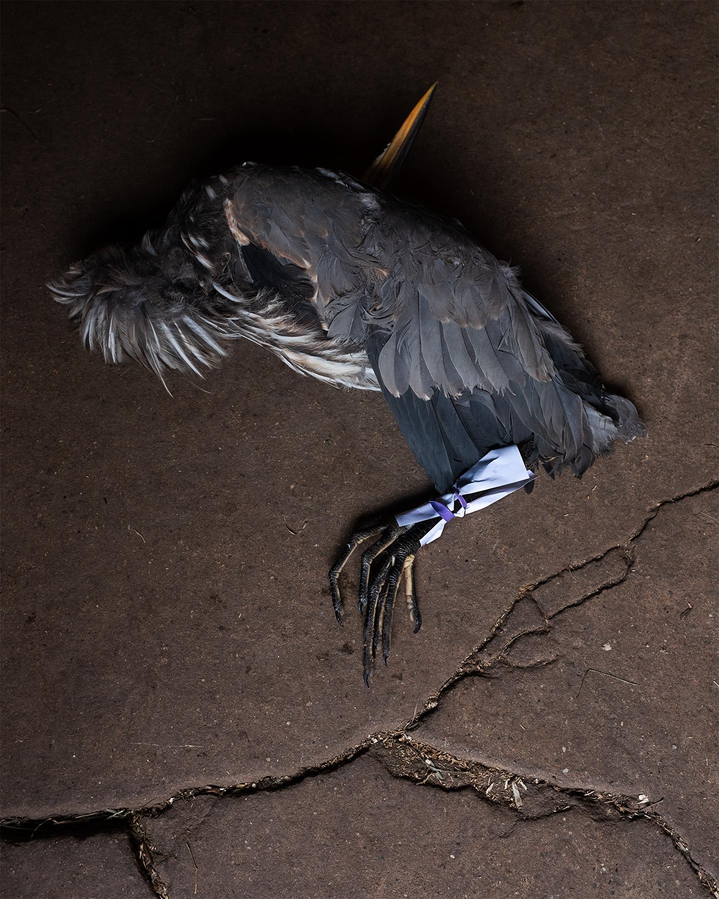 LINDA_KUO_wildlife_greatblueheron_2.jpg