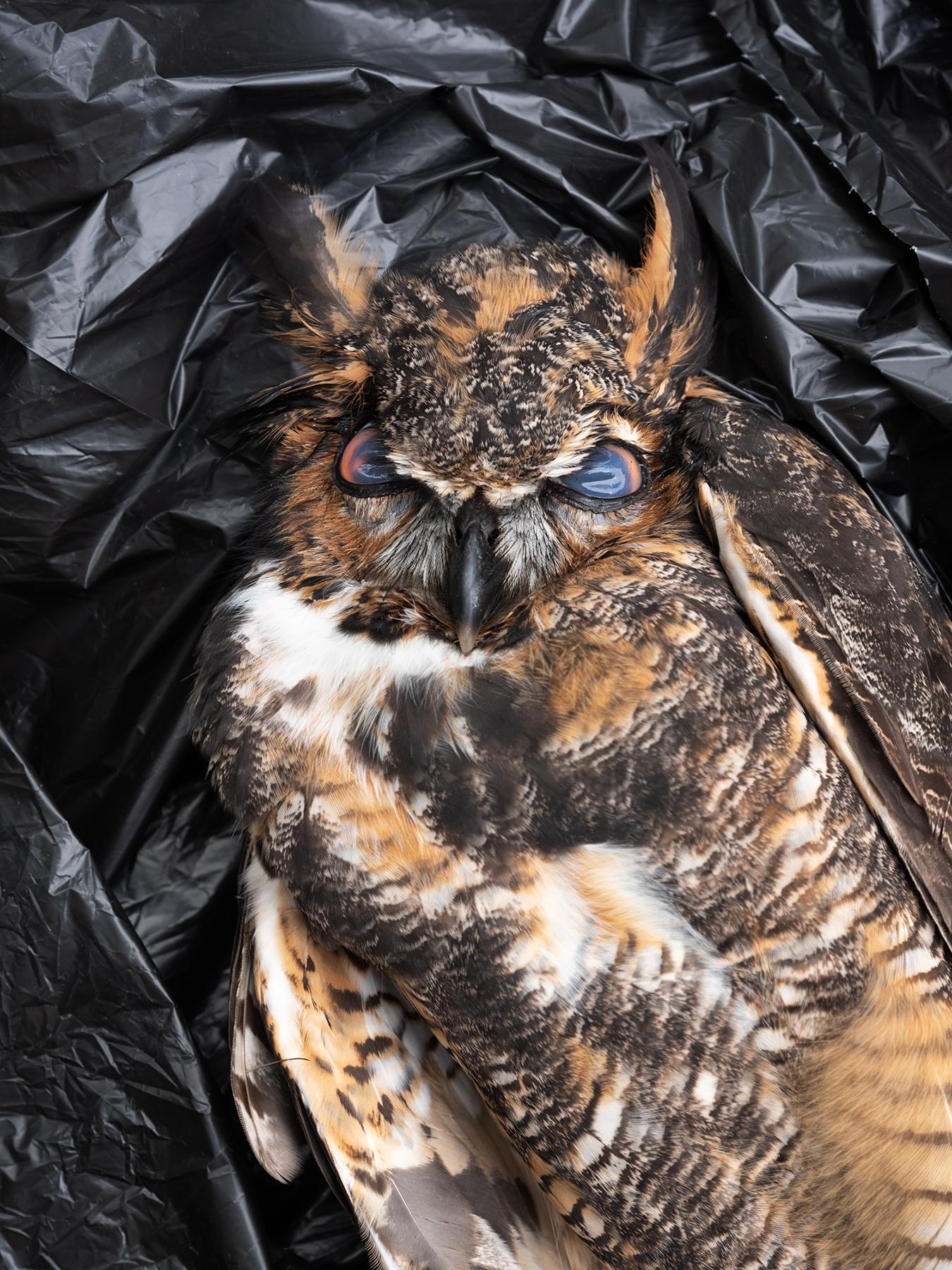 LINDA_KUO_wildlife_greathornedowl_1.jpg