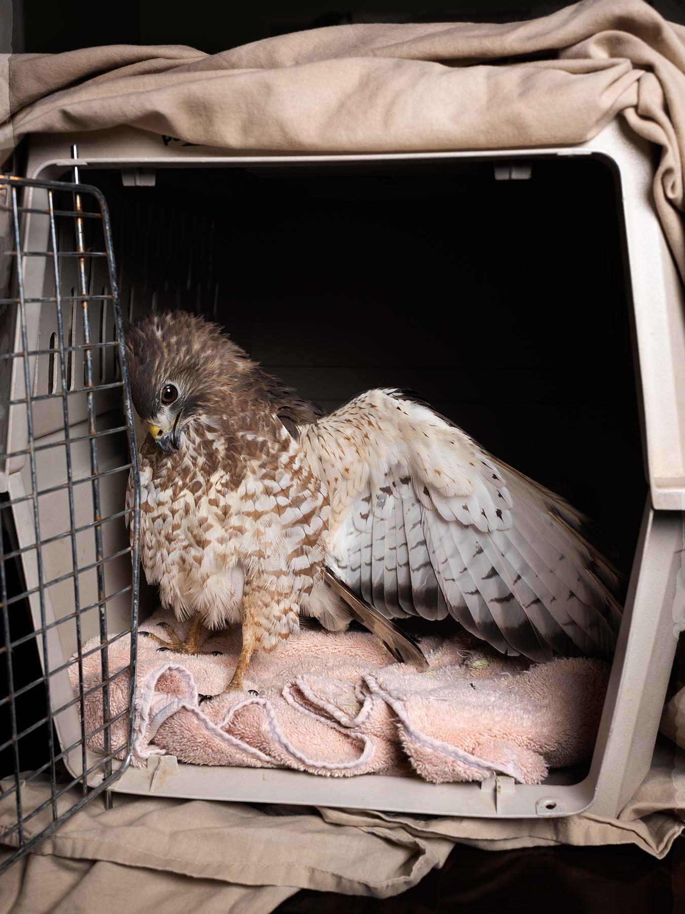 LINDA_KUO_wildlife_redtailedhawk_5.jpg
