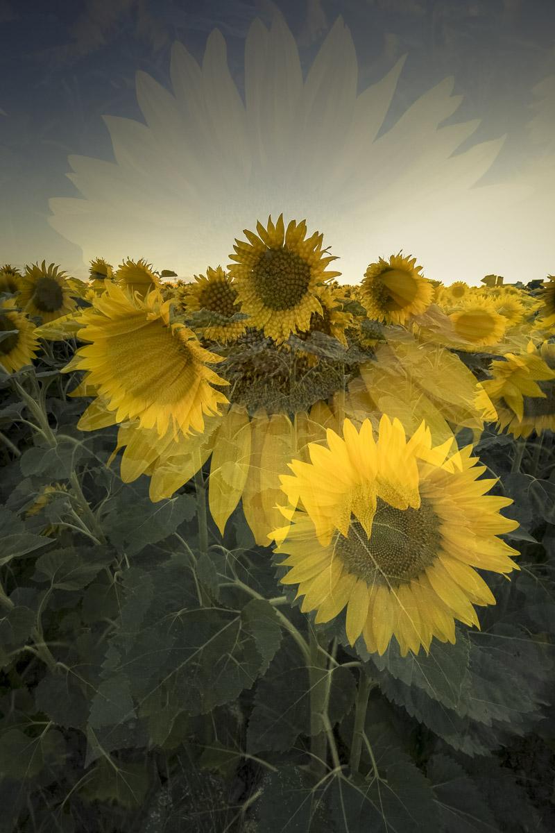 Regina_Cserna_Sunflowerart_Flowersun_1.jpg