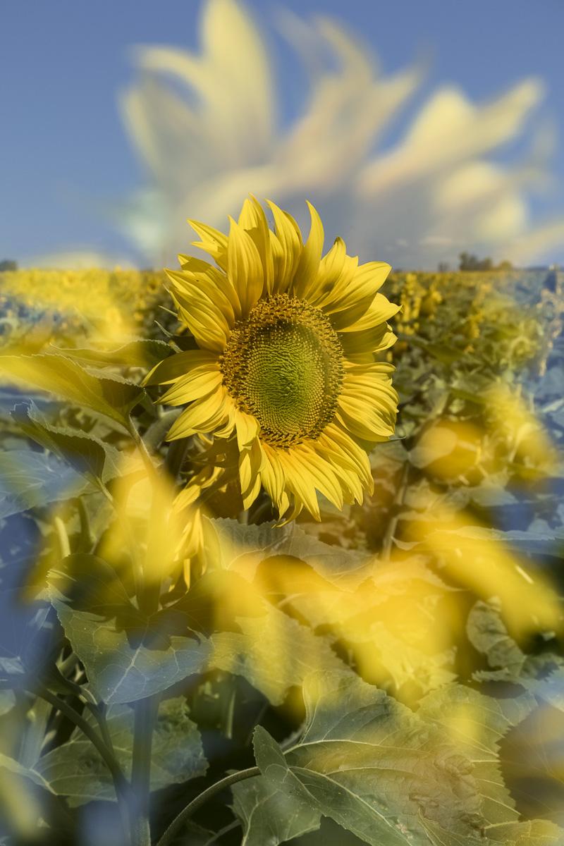 Regina_Cserna_Sunflowerart_Sunflowerportrait_5.jpg
