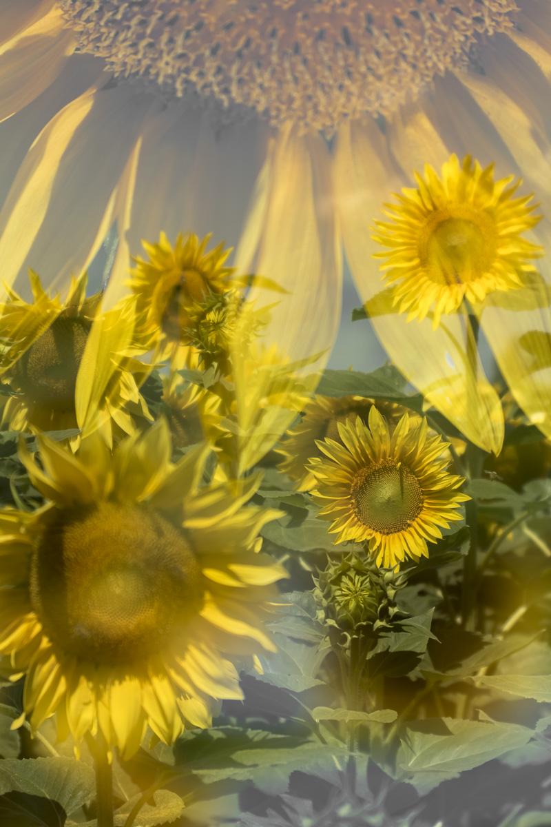 Regina_Cserna_Sunflowerart_Sunflowershine_3.jpg