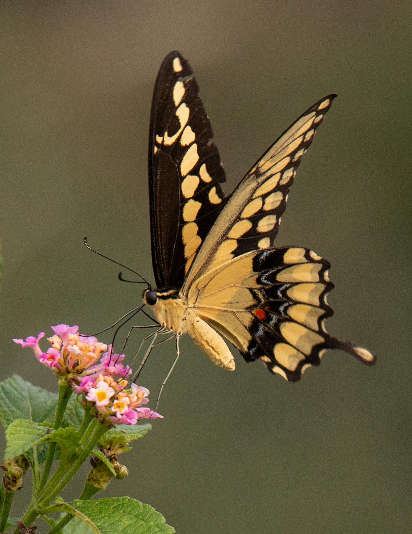 arabella-dane-giant swallowtail_MG_0786.jpg
