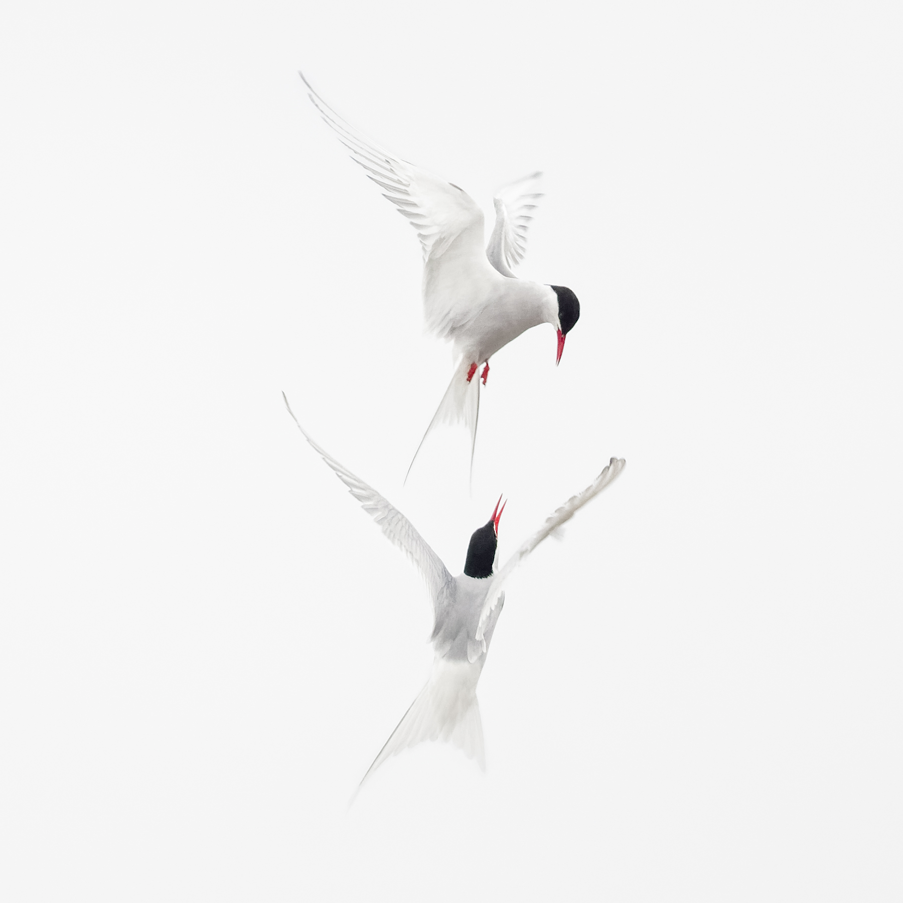 Brian_Jones_Arctic Terns Courtship Flight_Arctic Terns Courtship Flight 1_1.jpg