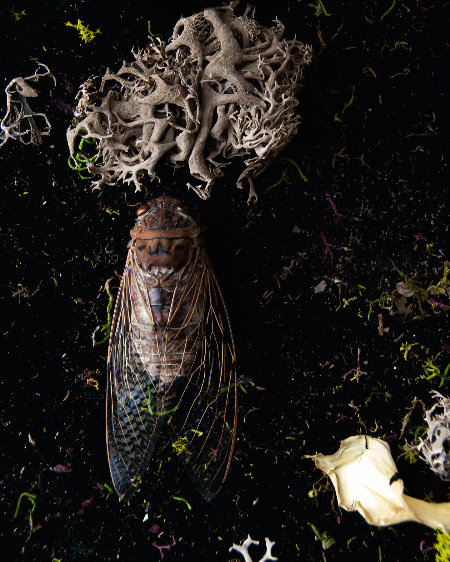 Nanc_Post_Mortem_Portraits_Cicada_with_Reindeer_Moss_6.jpg