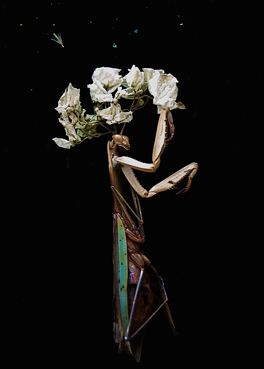 Nancy_Oliveri_Post_Mortem_Portraits_Mantis.jpg
