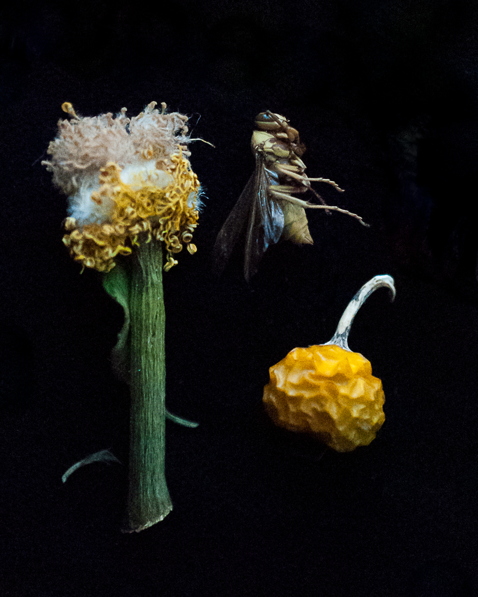 Nancy_Oliveri_Post_Mortem_Portraits_Bee_with_ Craspedia.jpg
