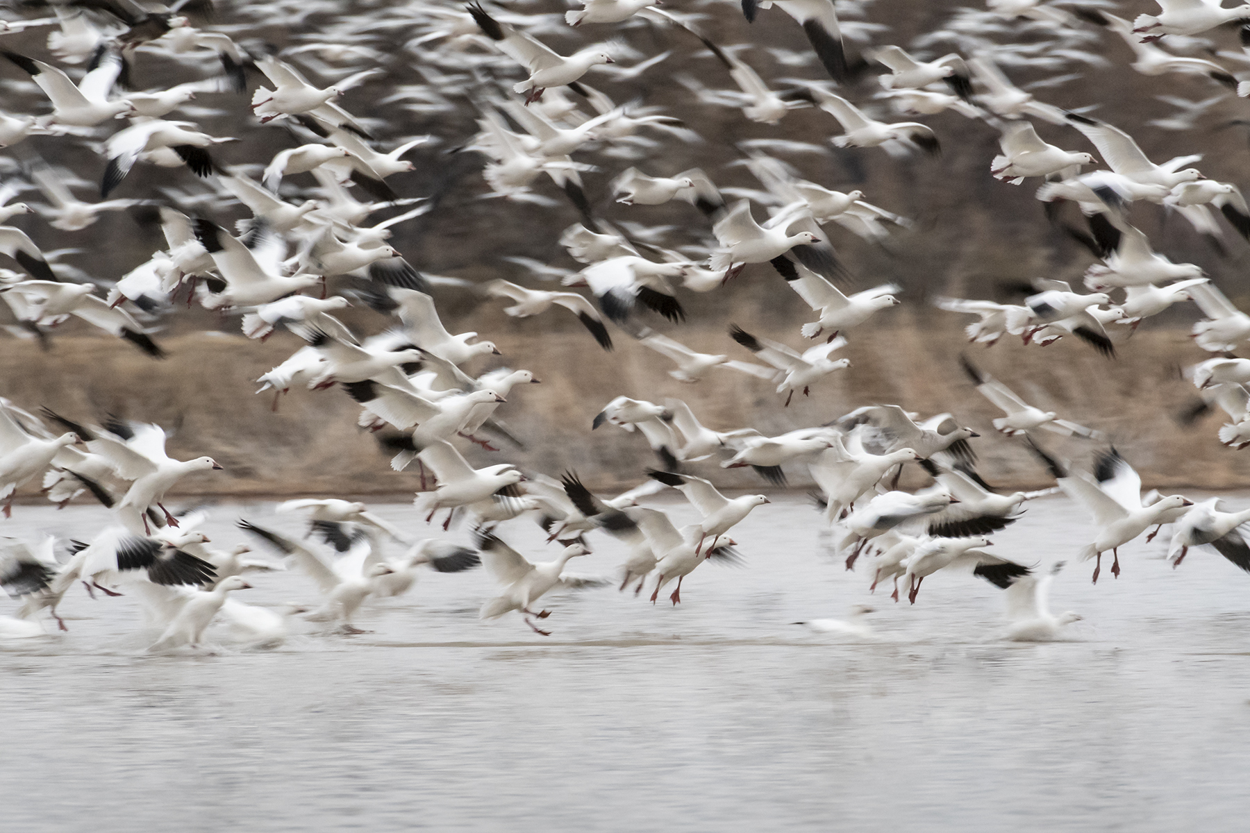Marlene_Miyamoto_Great North American Migrations_Snow Geese 1_1.jpg