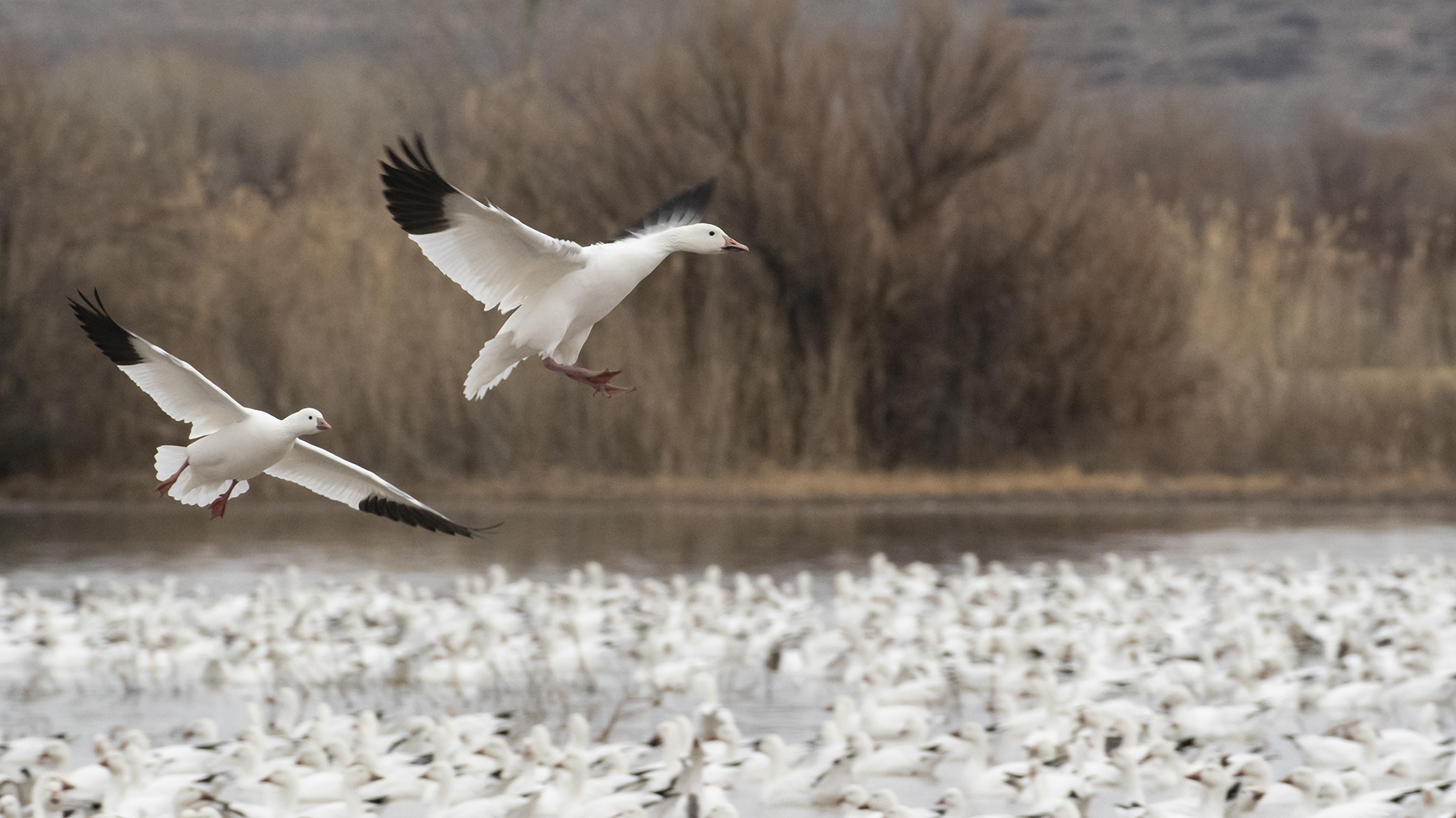 Marlene_Miyamoto_Great North American Migrations_Snow Geese 2_2.jpg