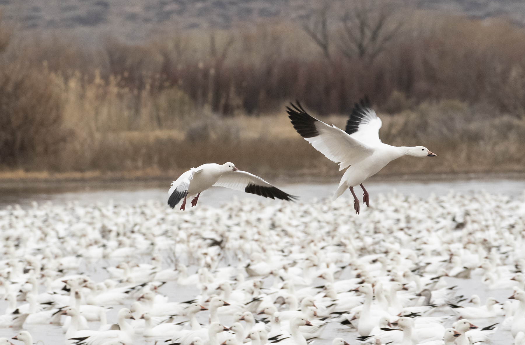 Marlene_Miyamoto_Great North American Migrations_Snow Geese 3_3.jpg