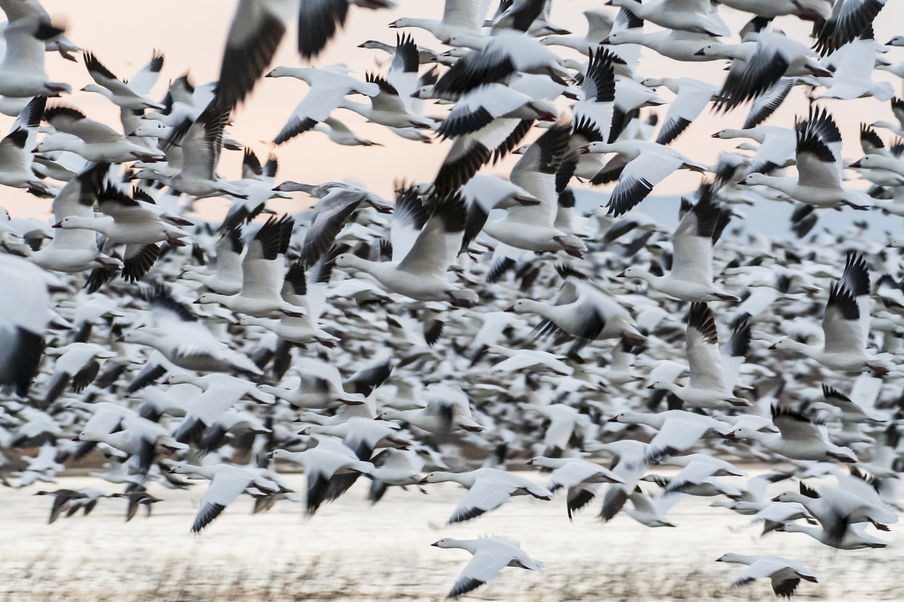 Marlene_Miyamoto_Great North American Migrations_Snow Geese 5_5-1.jpg