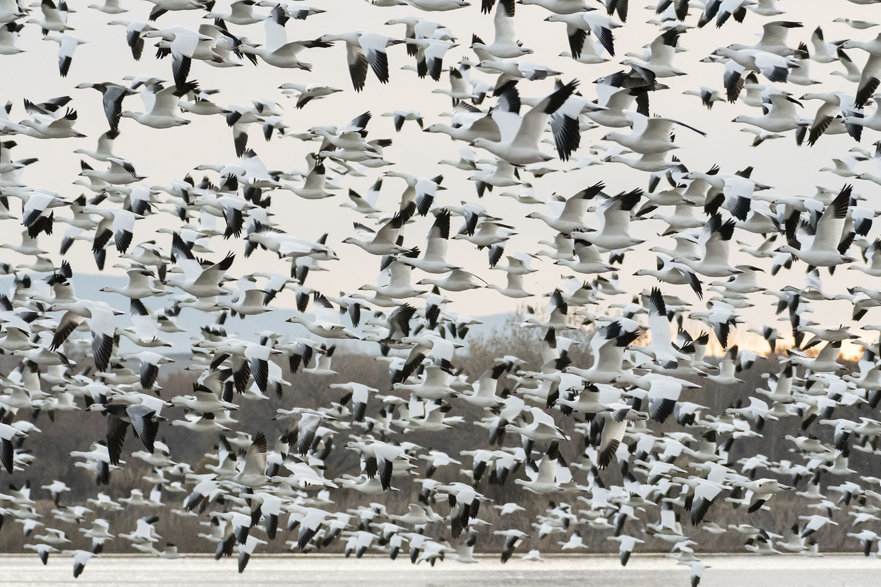 Marlene_Miyamoto_Great North American Migrations_Snow Geese 6_6.jpg