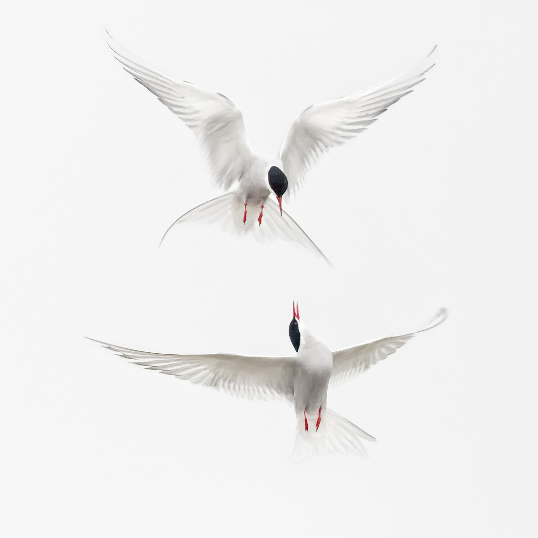 Brian_Jones_Arctic Terns Courtship Flight_Arctic Terns Courtship Flight 2_2.jpg