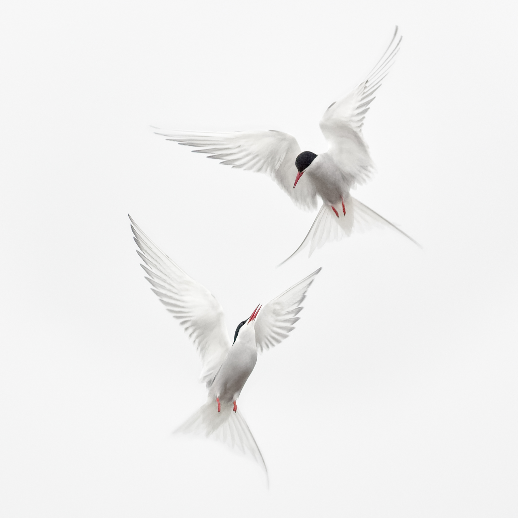 Brian_Jones_Arctic Terns Courtship Flight_Arctic Terns Courtship Flight 3_3.jpg