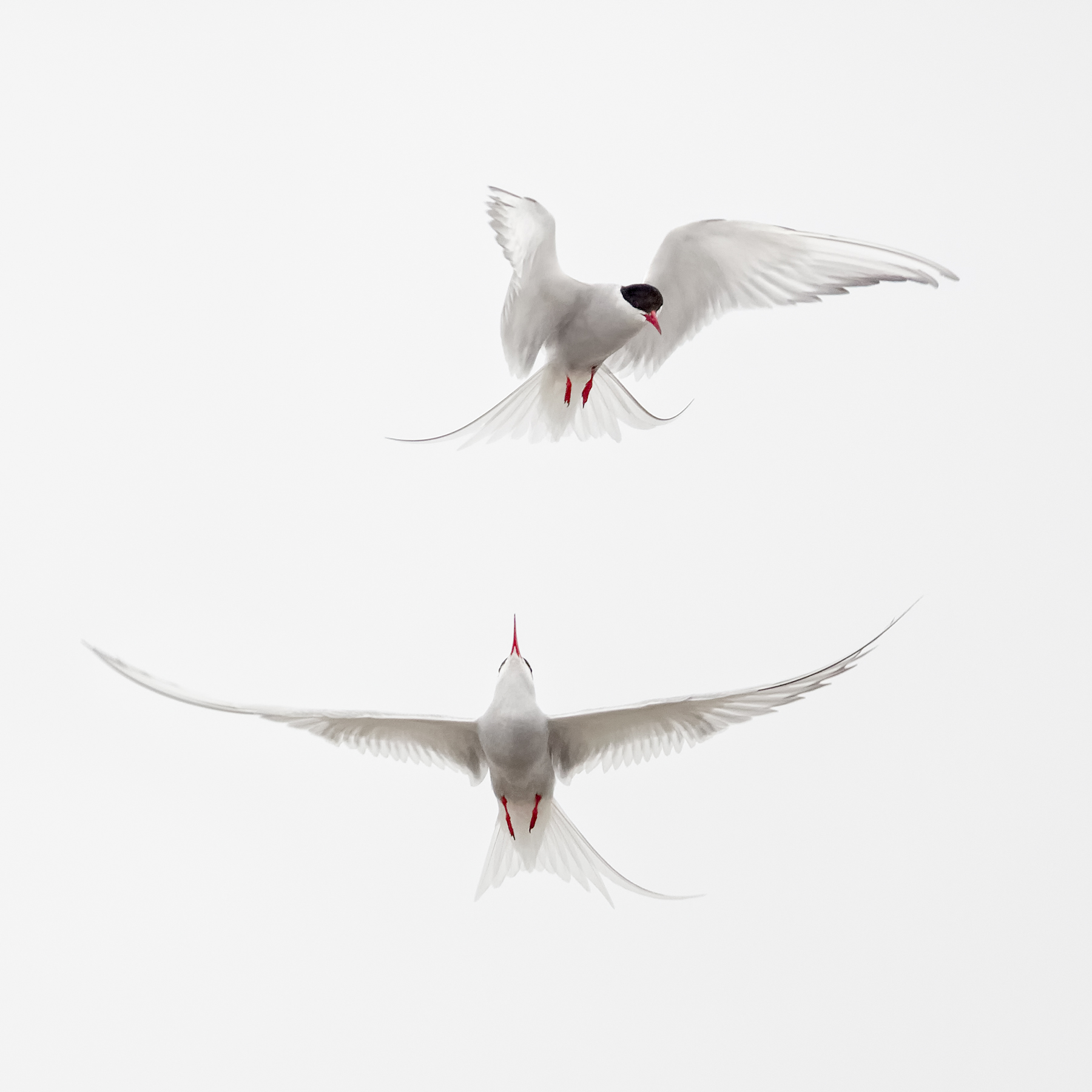 Brian_Jones_Arctic Terns Courtship Flight_Arctic Terns Courtship Flight 5_4.jpg