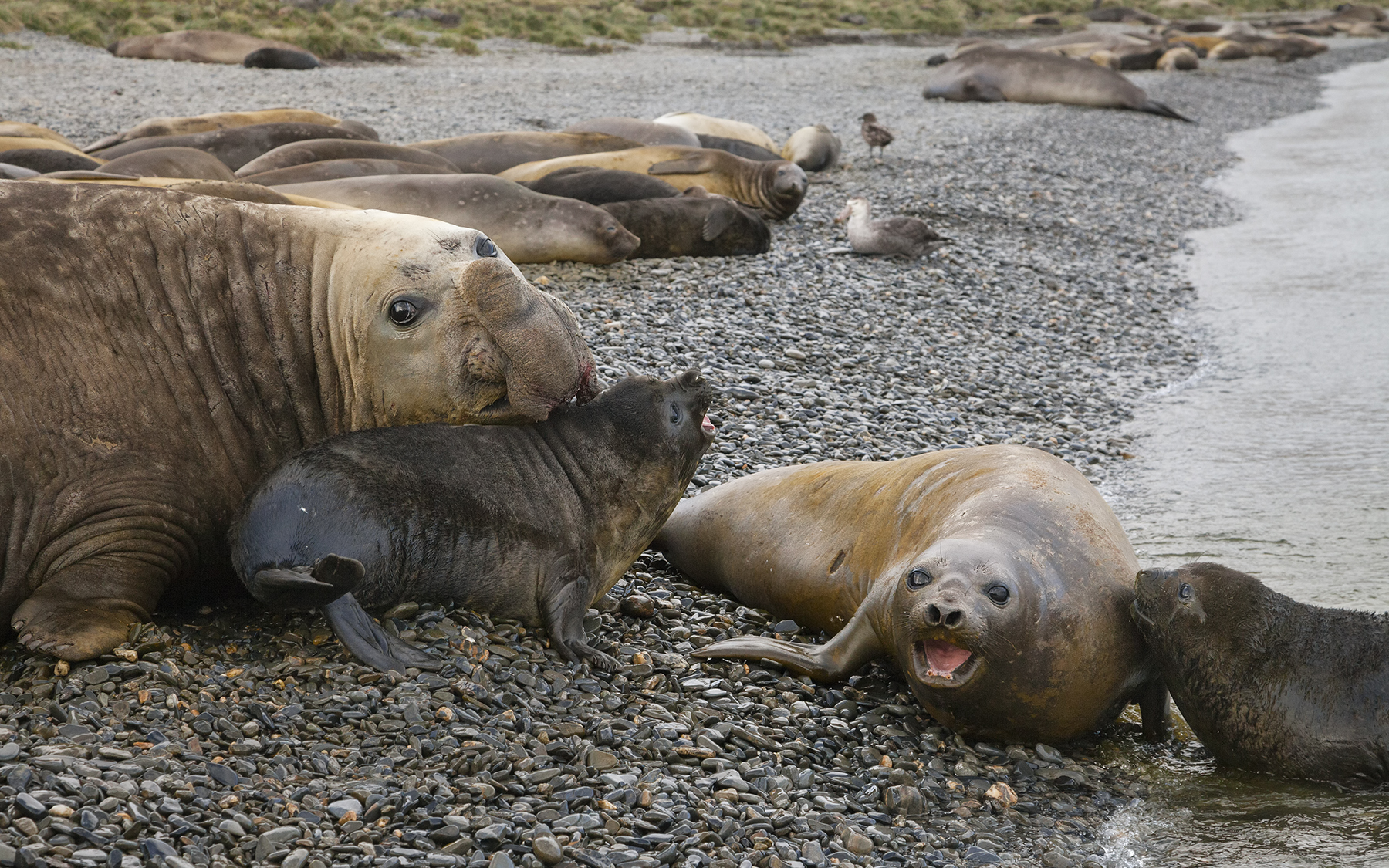 Brian_Jones_Elephant Seal Mating Season_Elephant Seals and Pups_2.jpg