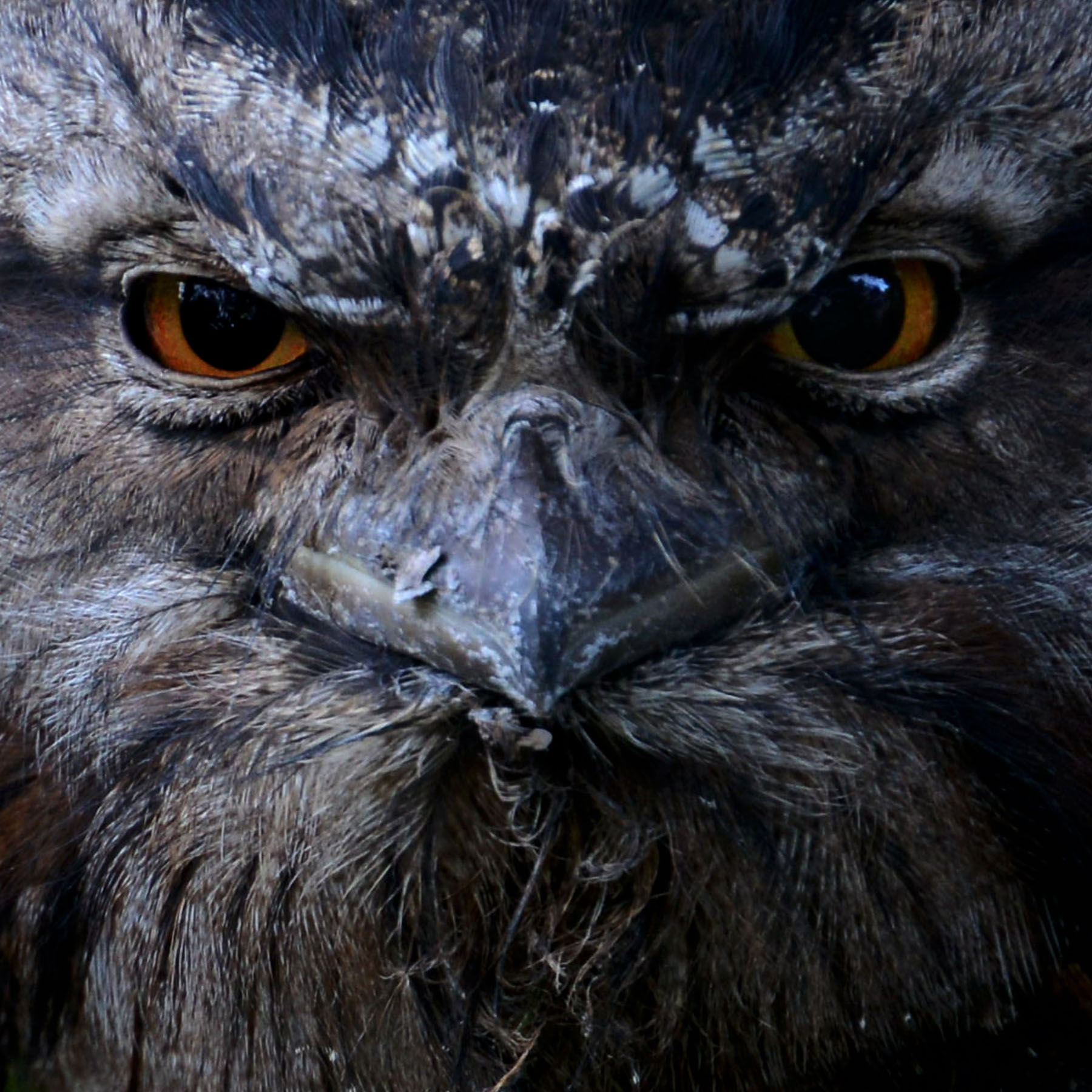 Karen_Burgess_Encounter_ Tawnie Frogmouth_2.jpg