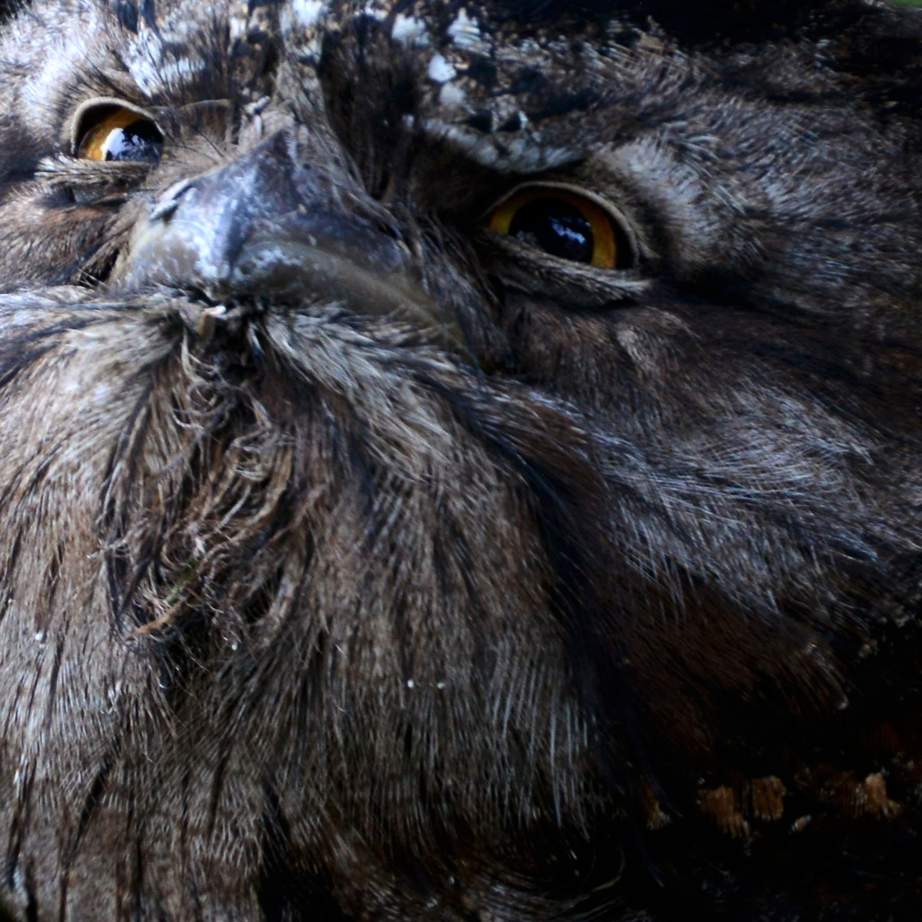 Karen_Burgess_Encounter_ Tawnie Frogmouth_3.jpg