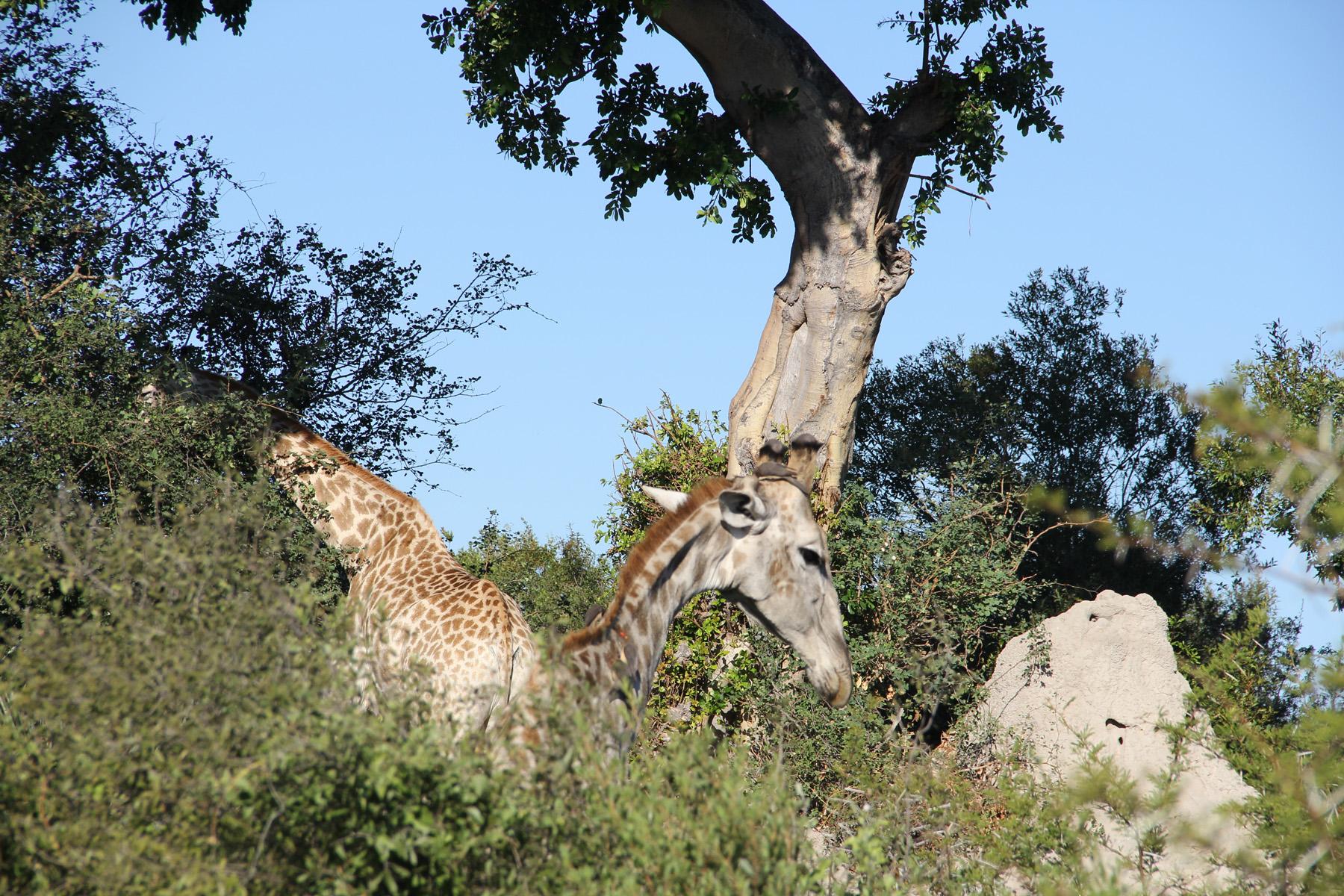 Lloyd_Campbell_Giraffe Hill-1.jpg