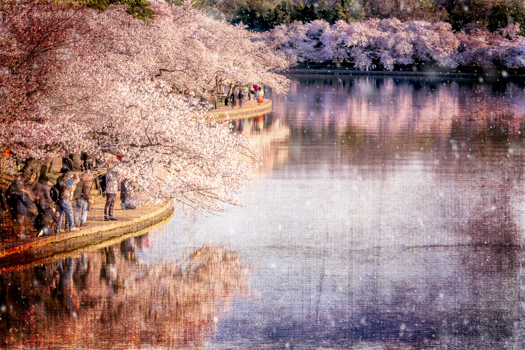 Sandy_Adams_Cherry_Blossom_Season_Magical-4.jpg