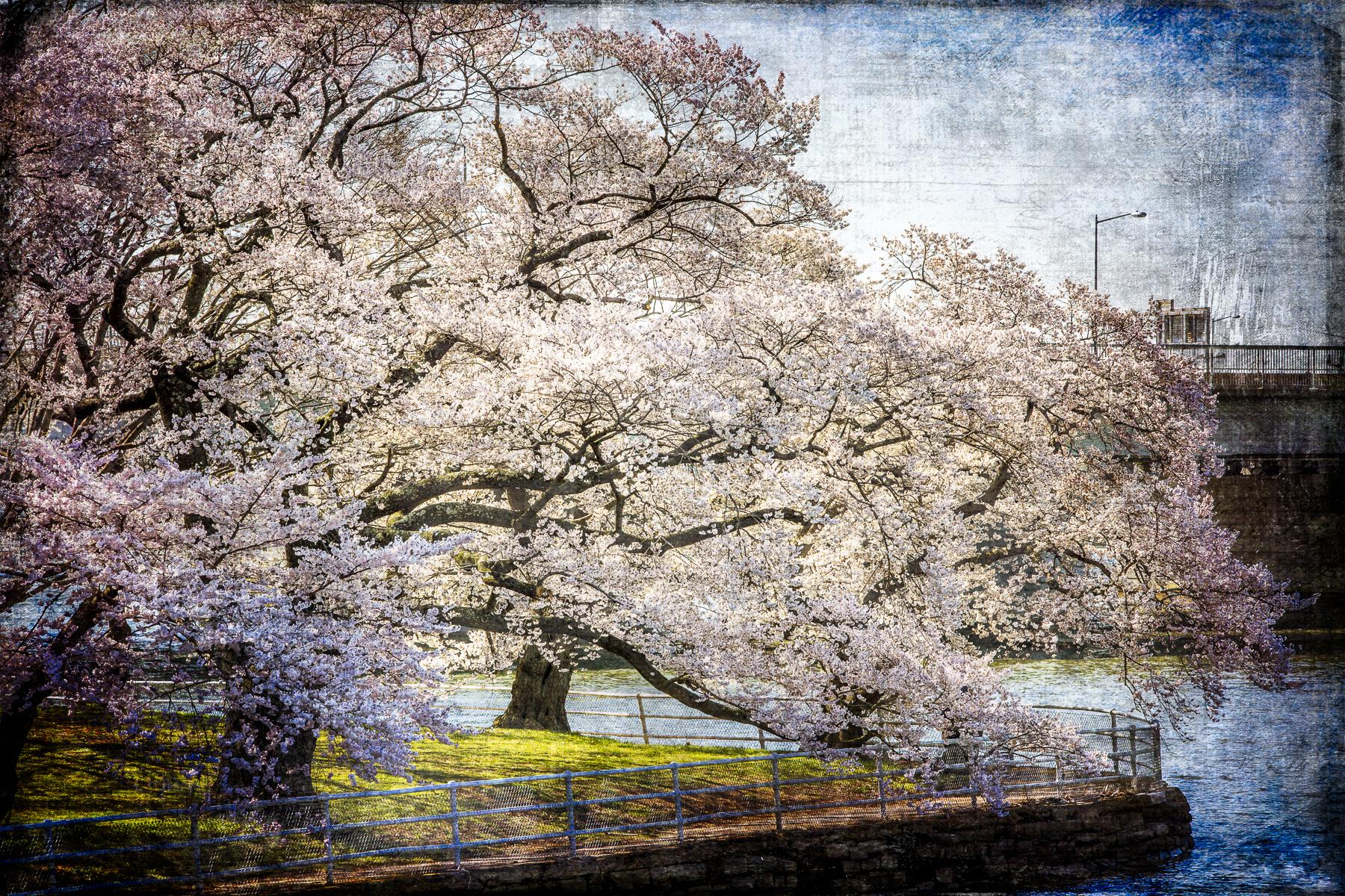 Sandy_Adams_Cherry_Blossom_Season_Hope-3.jpg