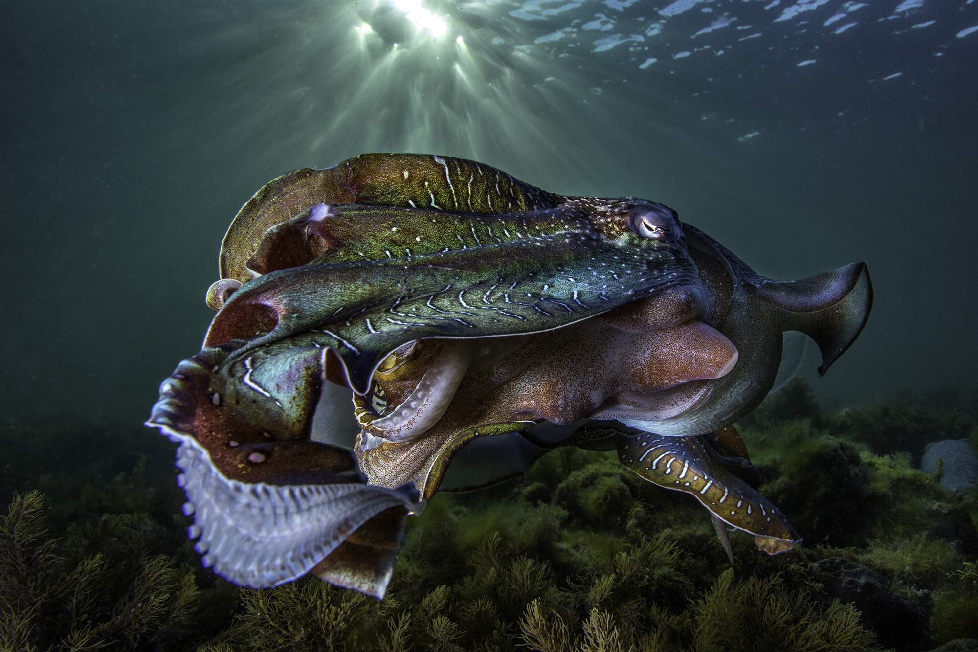 Portelli_Scott_Cuttlefish.jpg
