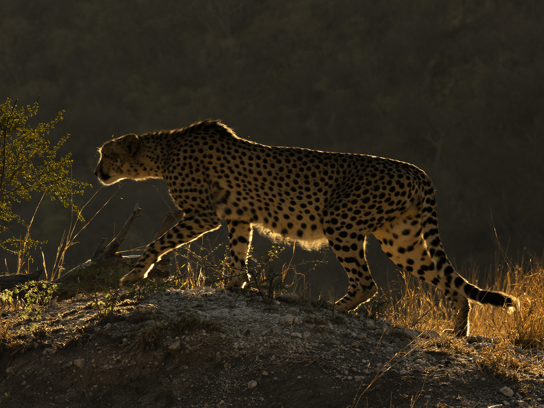 Ranjan_Ramchandani_The cheetah in the morning light.jpg
