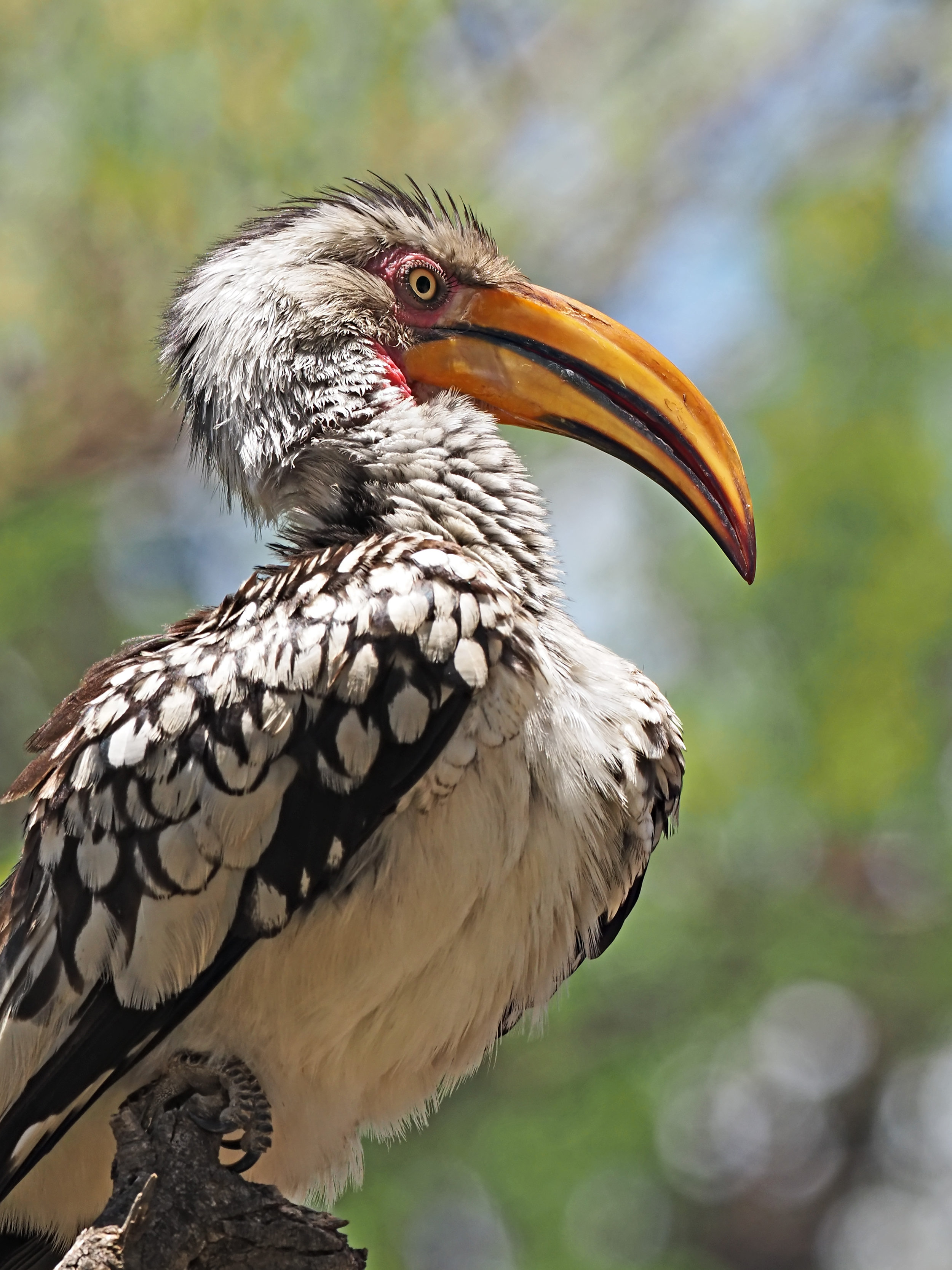 Ranjan_Ramchandani_The Hornbill.jpg